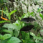 pana butterfly house july 2017