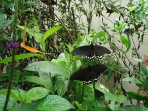 pana butterfly house july 2017